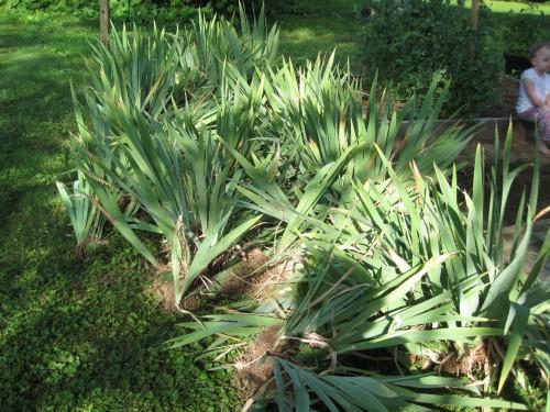 tons of irises