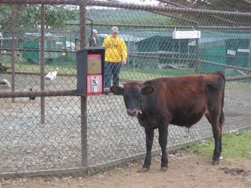smart cow